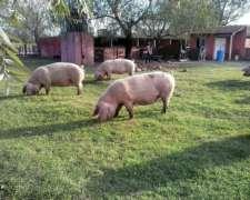 Criaderos De Porcinos. Sea Parte De La Carne Más Rentable
