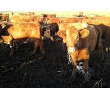 Compro Vacas Y Vaquillonas Angus Preñadas Rodeo General.