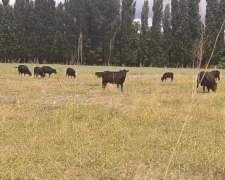 12 Vacas, 2 Toros y 7 Terneros