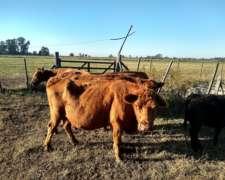 Vendo Vacas para Faena