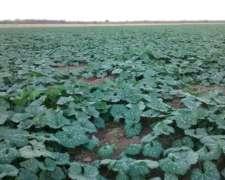 Exelente Campo Agricola de 1100 Has y 500 MAS 650 Has