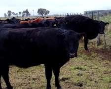 Vendo 125 Vaquillonas Vacias