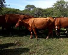 Compro Vacas Preñadas Nuevas