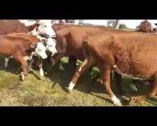 Vacas Nuevas Preñadas Plazo