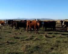200 Vaquillonas para Servicio Angus Colorado Puro Controlado