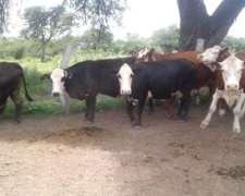 Vendo Vacas Gordas De Campo