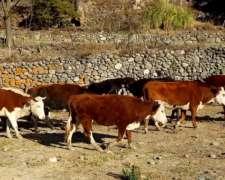 41 Vacas Con Cría Y Preñadas