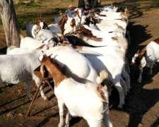 Chivas Chivos,cabritas Media Sangre Boer