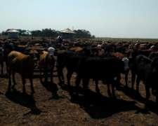 300 Terneros Macho-hembra 200-220 Kg