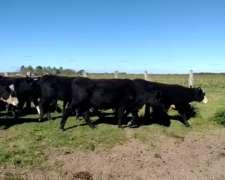 60 Vaquillas Negras y Pampas Preñadas