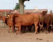 Vacas Brangus Segunda Preñez De Cabaña Inscriptas