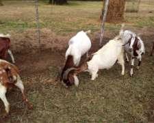 Vendo Cabras Boer Y Nubian