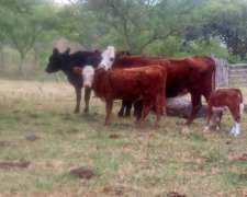 Lote Vacas Usadas Preñadas y con Terneros