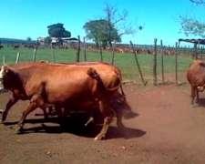 105 Vacas Preñadas - Solo Interesado Directo