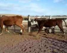 Vacas Hereford Garantía de Preñes Octubre y Noviembre.