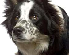 Vendo COW Dogs(perro Vaquero, Border Collie, Criadero Fca).