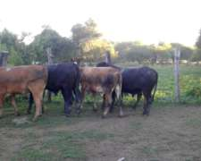 Vendo Novillos Gordos De Campo.260-290 Kilos