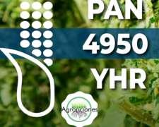 Semilla de Maiz PAN 4950 YHR - Pannar