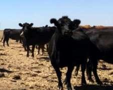 200 Vacas Angus Negro Pari Primavera