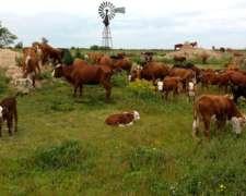 200 Vacas Con 180 Crías