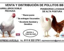 Pollitos Bb Parrileros Doble Pechuga Raza Pura Cabaña Envíos