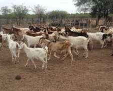 Vendo Lote De 30 Cabras