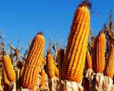 Maiz Seco Disponible A Granel