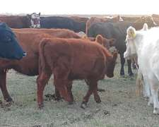 Vendo Vaca, Vaquillonas, Terneros, Toros