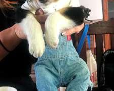 Vendo Hermosos Cachorros Border Collie Ideal para Campo