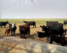 Vendo Vacas con Ternero al PIE y Servidas con Toro Agus PC
