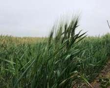 Venta Campo en Colonia San Jose, 22 Has Puras 100% Agricolas