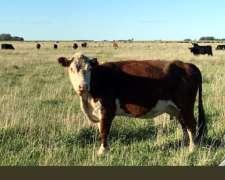 Compro Vaca Flaca o CUT a Productor Directo.
