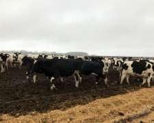 550 Vacas Holando Argentino En Producción