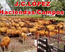 Vacas Paridas Angus Coloradas