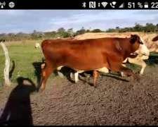 Excelente Lote Vaca Invernada Para Engorde