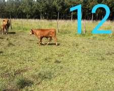Vendo 130 Terneros De 140-150 Kilos A 59$.comprador Directo