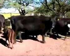 200 Vacas Preñadas Vendo