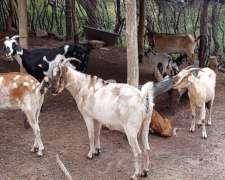 Vendo Cabras 3/4 Nubia