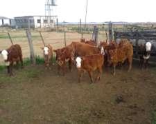 Compro Vacas O Vaquillonas Preñadas