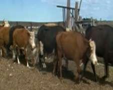 Compro Vacas Vacias al Contado Braford y Brangus