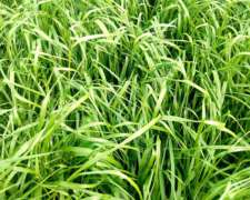 Rye Grass, Tetraploides Y Diploides, Campaña 2018/2019