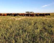 Plantel Completo Vacas y Vaquillonas