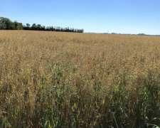 Compro Semilla De Pasturas En General Lotus Alfalfa Trebol