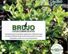 Semilla de Lotus Coniculatus Brujo - Criadero el Cencerro