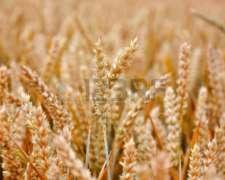 Compro Girasol,trigo,soja,maiz Cualquier Calidad