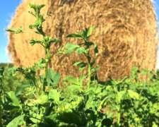 Venta de Rollos %100 Alfalfa