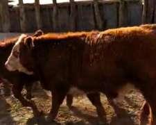 Vacas - Terneros - Cruza