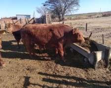 Vendo Toros Reproductores Limangus
