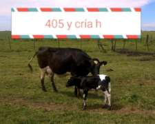 Vaquillonas Holando Argentino Preñadas