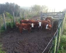 Vendo Vaquillas o Permuto por Camion